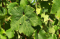 "A Cabernet Sauvignon leaf - the leaf is very ""decoupe"" (very separate lobes) and the surface is smooth - Chateau Belgrave, Haut-Medoc, Grand Crus Classe 1855"