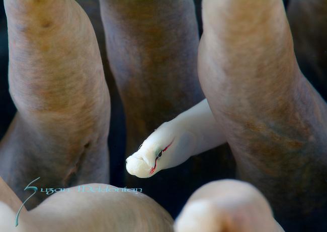 Mushroom coral pipefish , Siokunichthys nigrolineatus, Anilao