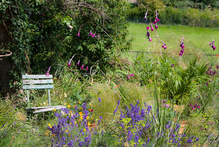 Cottage garden with rustic blue chair, herb lavender Lavandula angustifolia, arching ornamental grasses, orange Iceland poppies Papaver nudicaule