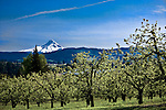 Majestic Mount Hood rises over the Hood River Valley as seen over an apple orchard east of the town of Hood River in the Columbia River Gorge, Oregon.  Hood River, east of Portland, is a favorite of wind surfers and skiers alike and is known as orchard and wine country.