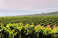 Rows of vine in the vineyard. Zilavka grape variety. One of their best vineyards with very poor soil on a hilltop mountain near Citluk and Zitomislic. Vinarija Citluk winery in Citluk near Mostar, part of Hercegovina Vino, Mostar. Federation Bosne i Hercegovine. Bosnia Herzegovina, Europe.