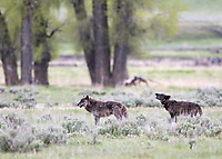 Lamar Canyon wolf pack alpha male Twin and alpha female 926F (howling).