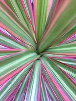 Hawaiian Ti (Cordyline terminalis) Plant Close-up, Maui, Hawaii, US