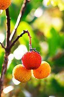 Arbousier, arbouse, strawberry tree with fruit. Chateau Mire l'Etang. La Clape. Languedoc. France. Europe.