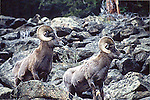 TWO BIG HORN SHEEP on HILLSIDE in THEIR NATURAL ENVIRONMENT