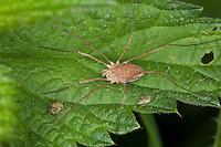 "Gemeiner Weberknecht, Weibchen, Phalangium opilio, common harvestman, Weberknechte, Kanker, Opiliones, Phalangidae, harvestmen, ""daddy longlegs"""