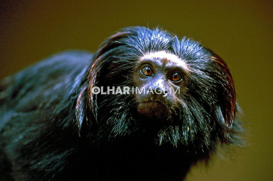 Animais. Mamiferos. Primatas. Mico Leão Preto (Leomtopithecus chrysopygus). SP. Foto de Fausto Pires de Campos.