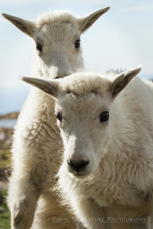 Baby Mountain Goat kids