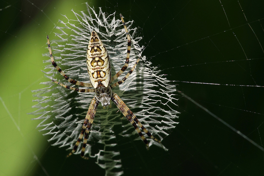 """Argiope aurantia immature spider shot today at approx. 1/4 - 3/8"""" length. I shot this same immature form for the first time almost 10 years ago, with a yellow background from some garden coreopsis flowers."""