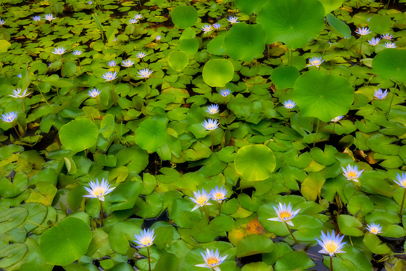 Water lilies in pond. Kauai, Hawaii