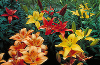 yellow and orange lilies growing in garden. flower, flowers, botany, pistil, stamen, petals, garden. Michigan.