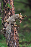 Eastern Fox Squirrel, Sciurus niger, female collecting cedar tree bark, Hill Country, Texas, USA