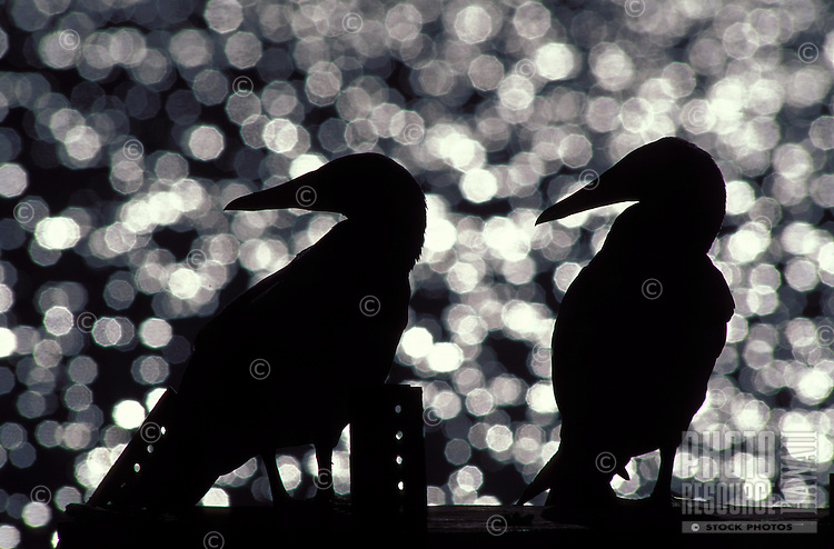 Masked Boobies in sillouette on Laysan island.