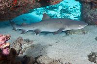 whitetip reef shark, Triaenodon obesus, male, in undersea cavern, Waikoloa, South Kohala, Kona, Big Island, Hawaii, USA, Pacific Ocean