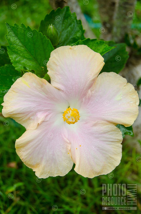 Pink and yellow hibiscus, Big Island