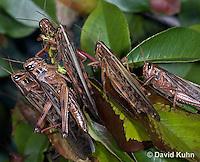0407-1106  American Birdwing Grasshopper, Swarm of Bird Locust, Schistocerca americana  © David Kuhn/Dwight Kuhn Photography