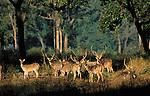 Chital, Kanha National Park, Madhya Pradesh, India
