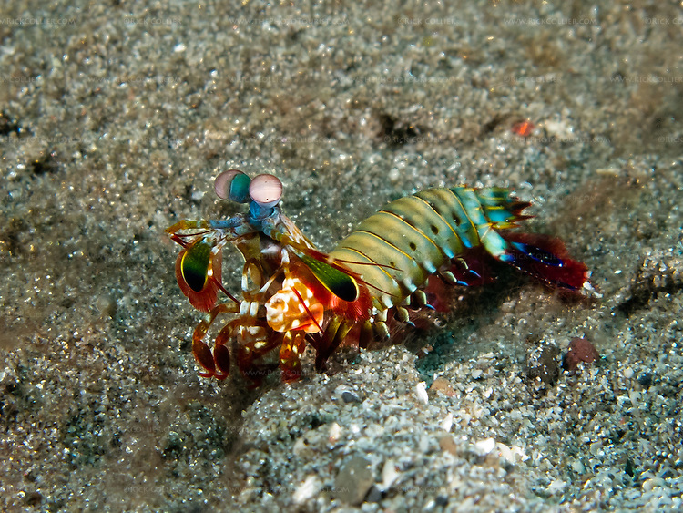 """A peacock mantis shrimp out on the bottom in the Lembeh Strait pauses to peer at the photographer.  Mantis shrimp are stomatopods, a type of crustacean and not actually related to either shrimp or mantoids (insects) but are named for their resemblance to both.  Mantis shrimp are curious, active predators that hunt primarily using their excellent vision in the daytime.  They are approachable and not particularly dangerous to divers, but care is still needed:  Mantis shrimp are also called """"thumb splitters"""" for their ability to inflict a deep wound if it feels a need to defend itself (easily penetrating a wetsuit or, rarely, a camera housing)."""