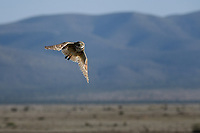 Burrowing Owl in flight, Texas roadside near Marathon