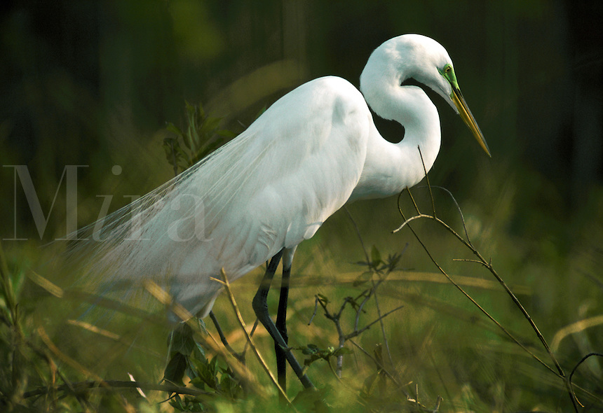 An egret in breding plumage.
