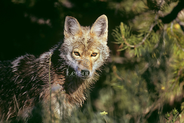 Coyote (Canis latrans).  Western U.S., Summer.