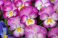 Pansy flowers, Viola x wittrockiana 'Ultima Radiance Pink'