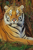 Bengal Tiger (Panthera tigris).  Endangered Species.