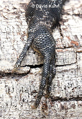 0626-1120  Rear Foot of Black Spiny-tailed Iguana (Black Iguana, Black Ctenosaur), On Half-moon Caye in Belize, Ctenosaura similis  © David Kuhn/Dwight Kuhn Photography