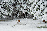 Deer in the snow in Yellowstone National Park