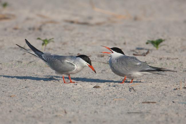 Common Terns (Sterna hirundo) tending nest and eggs, Nickerson Beach, Lido Beach, New York