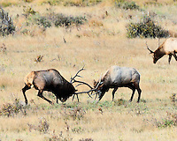Two bull elk fight during the rut in Rocky Mountain National Park, Colorado