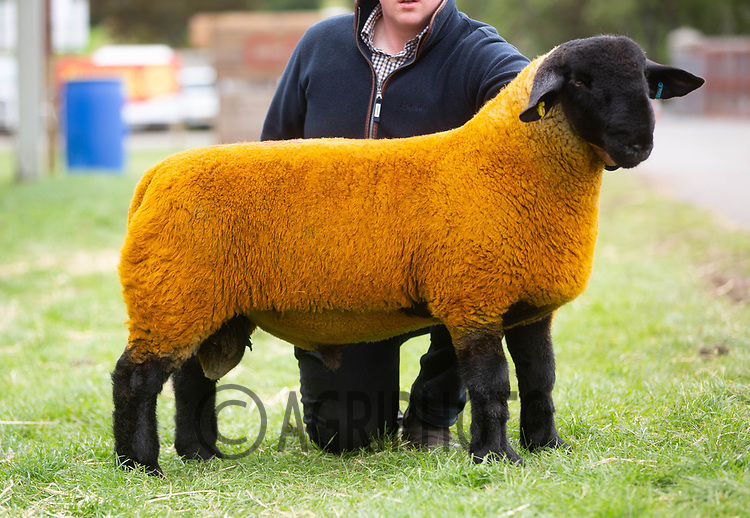 Kelso Ram Sale 2018<br /> Lot 3640       suffolk 5000gns JG Douglas Cairness<br /> ©Tim Scrivener Photographer 07850 303986<br />      ....Covering Agriculture In The UK....