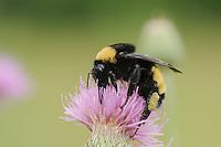 Bumble Bee (Bombus sp.), adult feeding on thistle, Fennessey Ranch, Refugio, Corpus Christi, Coastal Bend, Texas Coast, USA