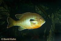 1123-1009  Redbreast Sunfish, Lepomis auritus  © David Kuhn/Dwight Kuhn Photography
