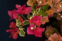 Bougainvillea 'Raspberry Ice' (variegated foliage with flowers)