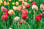 Amazon tulips