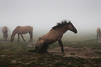 A stallion gets up after rolling in the dirt on a foggy morning in North Dakota.<br /> Horses rescued by Karen Sussman and the International Society for the Protection of Mustangs and Burros.  The Gila herd descended from Spanish horses brought in the 1600s by the conquistadors.  They have primitive markings, dark mane and tail, a dorsal stripe and zebra stripes on their legs.
