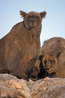 grizzly bear, Ursus horribilis, brown bear, Ursus arctos, mother and cub feeding on a bowhead whale, Balaena mysticetus, carcass in the Arctic National Wildlife Refuge, 1002 coastal plain, Alaska