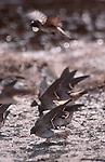 Hanford Reach; Cliff Swallow, Petrochelidon pyrrhonota, nest building, Columbia River; Hanford Reach National Monument; Washington State;