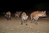 Spotted hyenas at night, Harar, spotted hyena, Harrar, hyena, Ethiopia, Africa