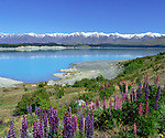 New Zealand, South Island, Lake Pukaki: View of Lake with Lupins | Neuseeland, Suedinsel, Lake Pukaki: bluehende Lupinen am See