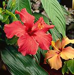 Karibik, Kleine Antillen, Grenada: Hibiskus-Bluete | Caribbean, Lesser Antilles, Grenada: Hibiscus