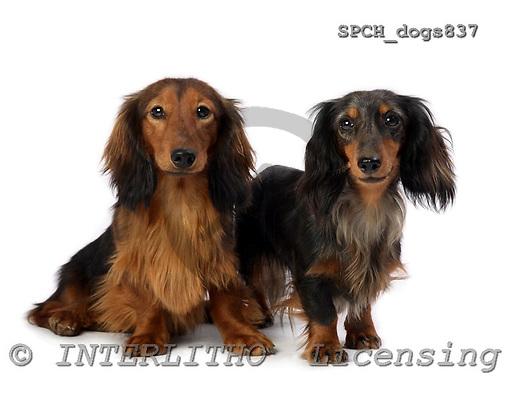 Xavier, ANIMALS, dogs, photos, SPCHDOGS837,#A# Hunde, perros