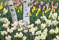 Tulips and daffodils in display gardens, Mount Vernon, Skagit Valley, Washington