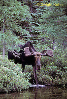 MS01-025z   Moose - bull (male) coming to feed at Sandy Stream Pond in Baxter State Park, Maine - Alces alces
