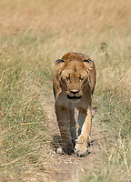 A female Lion, Panthera leo  melanochaita, in Maasai Mara National Reserve, Kenya