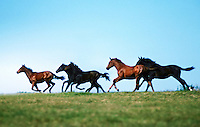 A group of thoroughbred weanlings race across a rise in profile with clear blue sky.