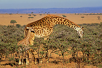 Masai Giraffe (Giraffa camelopardalis) mother browsing while calf looks on, East Africa.