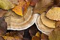 Hairy Bracket fungus {Trametes hirsuta} growing on fallen dead beech tree trunk. Plitvice Lakes National Park, Croatia. November.