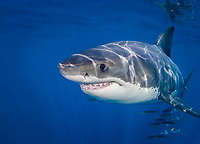 great white shark, Carcharodon carcharias, Isle da Gaudalupe, Mexico, Pacific Ocean